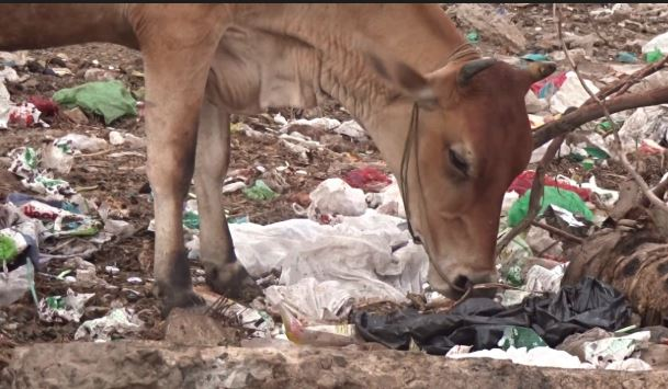 20kg plastic removed from a cow's stomach in Vadodara – Veterinary doctors shocked!